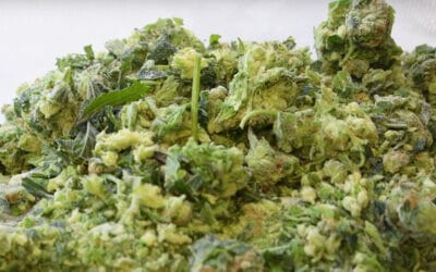 Why Processing Fresh Frozen Makes Sense for Most Cannabis Extractors